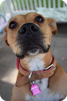 Pit Bull Terrier/Shepherd (Unknown Type) Mix Dog for adoption in Pontiac, Michigan - Gracie