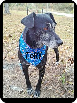 Labrador Retriever/Cattle Dog Mix Dog for adoption in Princeton, Kentucky - Tory