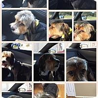 Adopt A Pet :: Beaux - Courtesy Listing - McKinney, TX