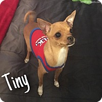 Chihuahua Mix Dog for adoption in Phoenix, Arizona - Tiny