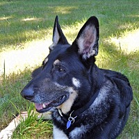 Adopt A Pet :: Blue - Woodinville, WA
