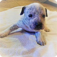 Adopt A Pet :: Sassy - Wichita Falls, TX