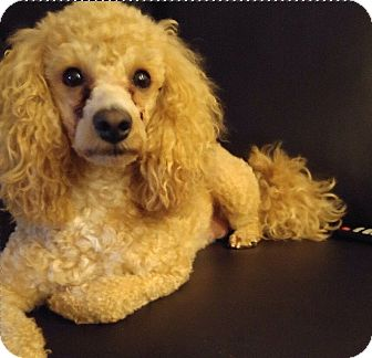 Poodle (Miniature)/Maltese Mix Dog for adoption in Mississauga, Ontario - Rockie