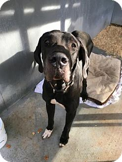 Great Dane Dog for adoption in Freeport, Florida - Captain America