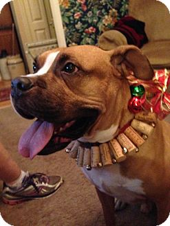 Boxer Mix Dog for adoption in Windermere, Florida - Pippin