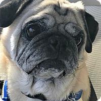 Adopt A Pet :: Beastie - Grapevine, TX