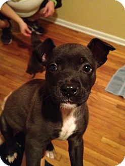 Boston Terrier/Pit Bull Terrier Mix Puppy for adoption in Orlando, Florida - Samo