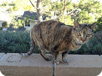 Domestic Shorthair Cat for adoption in Laguna Woods, California - Sassy