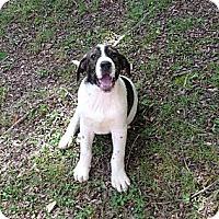 Adopt A Pet :: River - Harrisburgh, PA