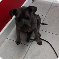 Adopt A Pet :: Mozart - Las Vegas, NV