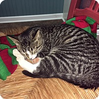 Domestic Shorthair Cat for adoption in Homewood, Alabama - George M