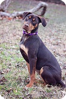 Doberman Pinscher Mix Dog for adoption in Fort Worth, Texas - Caroline