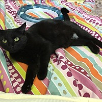 Domestic Shorthair Cat for adoption in Battle Creek, Michigan - Sonja Lee