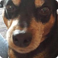 Adopt A Pet :: Dobie - Hollis, ME