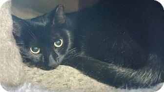 Domestic Shorthair Cat for adoption in Philadelphia, Pennsylvania - Chilli