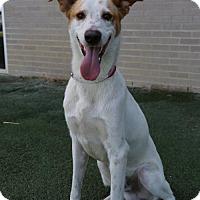 Labrador Retriever/Pointer Mix Dog for adoption in Brooklyn, New York - Peter Sarsgaard