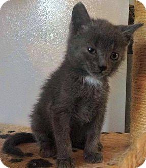 Domestic Shorthair Kitten for adoption in Jefferson, North Carolina - Smokey