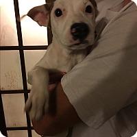Adopt A Pet :: Destiny - Westminster, CO