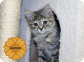Domestic Mediumhair Kitten for adoption in Lancaster, Pennsylvania - Summer