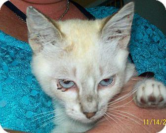 Siamese Cat for adoption in Mexia, Texas - Shamrock