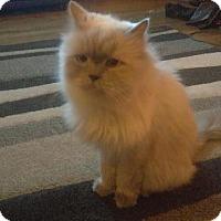 Adopt A Pet :: Murphy - Fenton, MO