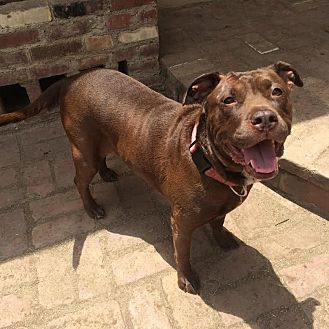 American Pit Bull Terrier Mix Dog for adoption in Los Angeles, California - Taz