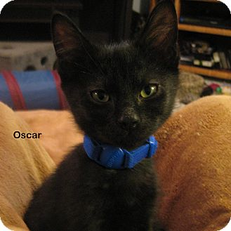 Domestic Shorthair Kitten for adoption in Portland, Oregon - Oscar