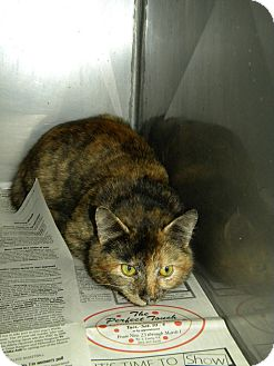 American Shorthair Cat for adoption in Lancaster, Virginia - Chloe