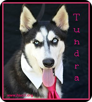 Husky Mix Dog for adoption in Plano, Texas - Tundra