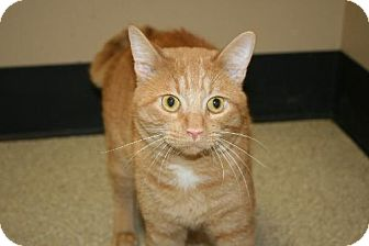 American Shorthair Cat for adoption in Tiffin, Ohio - SPRINGER
