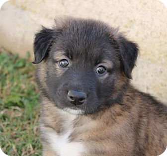 German shepherd dog chow chow mix puppy for adoption in la habra