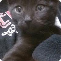 Adopt A Pet :: Lil Bear - Trevose, PA