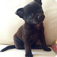Adopt A Pet :: Faith 1.7 lbs - Encino, CA