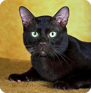 Domestic Shorthair Cat for adoption in Loganville, Georgia - Blackberry