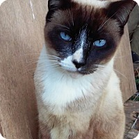 Siamese Cat for adoption in Coral Springs, Florida - Yogi