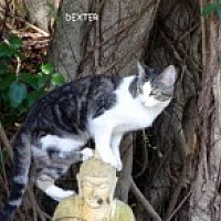 Domestic Shorthair Cat for adoption in Bonita Springs, Florida - Dexter