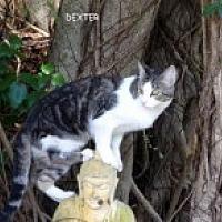 Adopt A Pet :: Dexter - Bonita Springs, FL