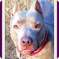 Pit Bull Terrier Mix Dog for adoption in Memphis, Tennessee - Scarlett