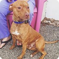 Adopt A Pet :: TORI - Pompton lakes, NJ