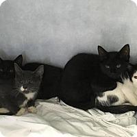 Domestic Shorthair Cat for adoption in Manteo, North Carolina - Jack-O-Lantern
