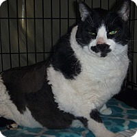 Domestic Shorthair Cat for adoption in Rosamond, California - Moo