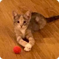 Adopt A Pet :: Poundcake - Bulverde, TX
