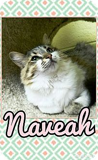 Domestic Mediumhair Cat for adoption in Edwards AFB, California - Nevaeh