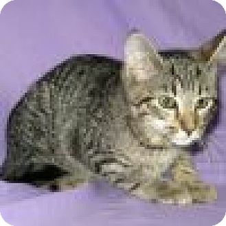 Domestic Shorthair Cat for adoption in Powell, Ohio - Skeeter