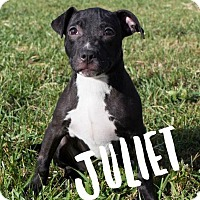 Pit Bull Terrier Puppy for adoption in Murphysboro, Illinois - Juliet