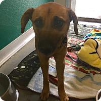 Adopt A Pet :: Charli - Wilmington, DE