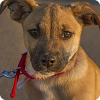 Adopt A Pet :: Puppy Bandit - Norman, OK