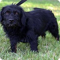 Adopt A Pet :: Shaggy - Waldorf, MD