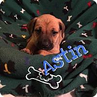 Adopt A Pet :: Astin - Foristell, MO