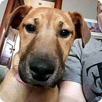 Adopt A Pet :: Abby - Dayton, OH